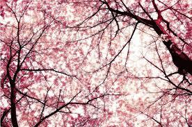giardino dei ciliegi
